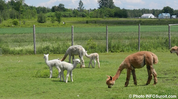 animaux agricole agriculture ferme AlpagasdesHautsVents Photo INFOSuroit