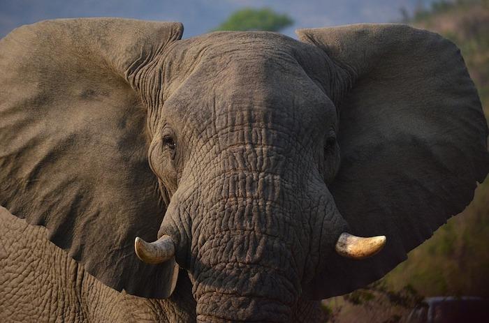 elephant afrique photo Fibrel via Pixabay CC0