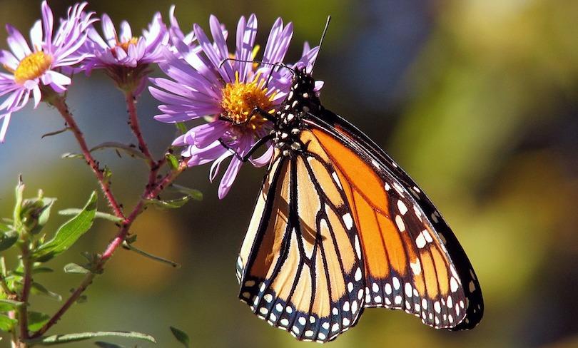 papillon monarque fleur photo PublicDomainPictures via Pixabay CC0 et INFOSuroit_com