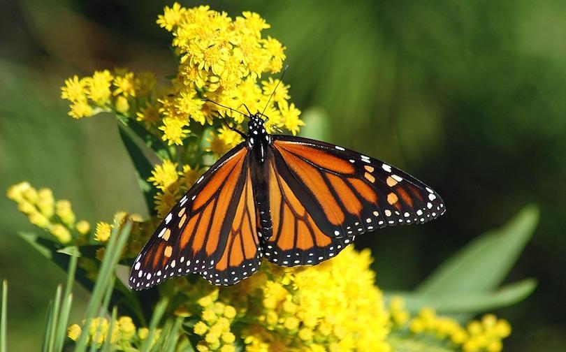 papillon monarque insecte fleur jaune photo BBarlow via Pixabay CC0 et INFOSuroit