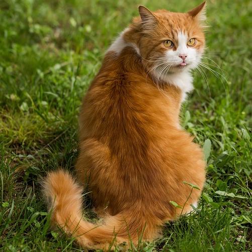 animal chat gazon pelouse photo Pexels via Pixabay CC0 et INFOSuroit
