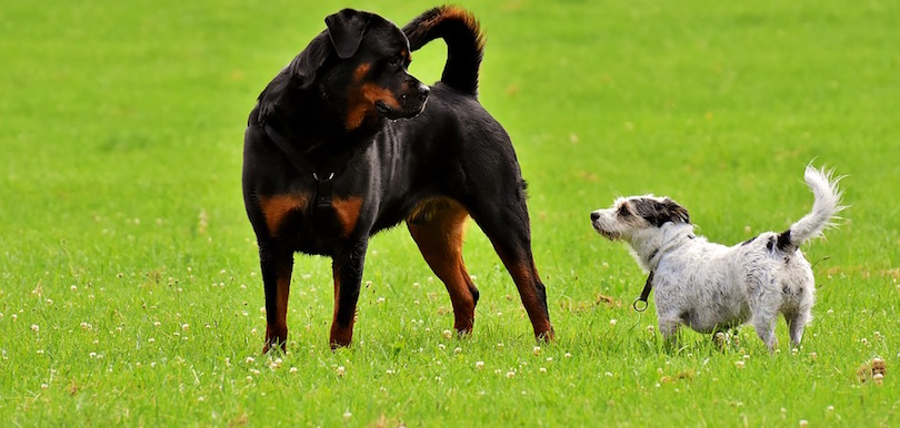 animal parc chien rottweiler et hybride photo Alexas_Fotos via Pixabay CC0 et INFOSuroit