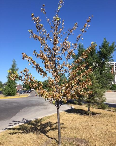 arbre secheresse vague chaleur photo courtoisie Ville Valleyfield