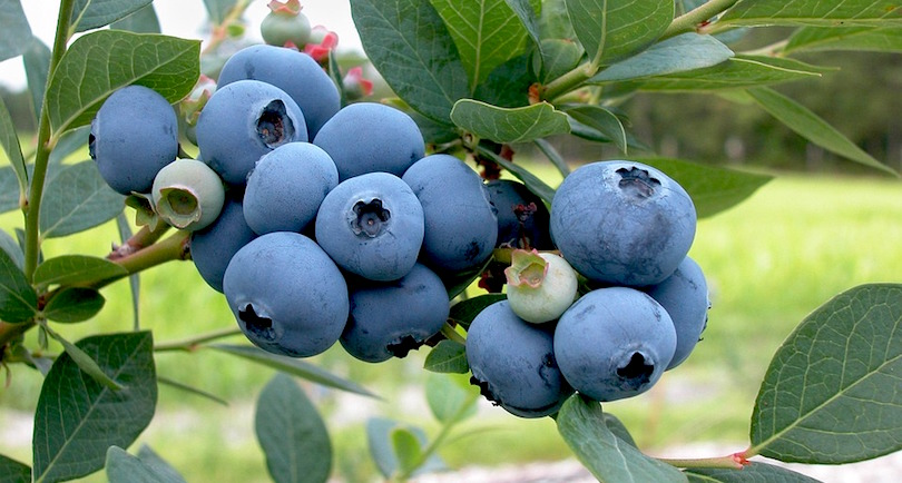 bleuets petits fruits grappe photo Skeeze via Pixabay CC0 et INFOSuroit