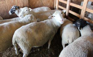 portes ouvertes sur les fermes agneaux photo UPA_Monteregie