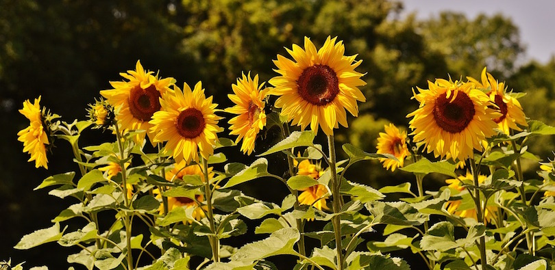 tournesol fleurs semences graines photo Alexas_Fotos via Pixabay CC0 et INFOSuroit