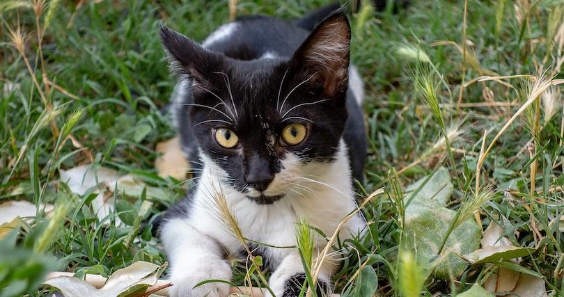chat noir et blanc animal photo BarskeFranck via Pixabay CC0 et INFOSuroit