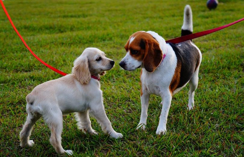 chiens en laisse parc canin photo Gerson_Rodriguez via Pixabay CC0 et INFOSuroit