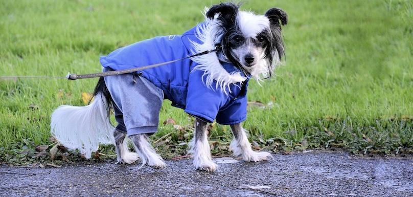 chien en laisse avec manteau automne parc canin photo PublicDomainPictures via Pixabay CC0 et INFOSuroit