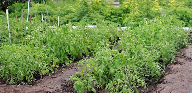 legumes jardin potager photo Irina_Kukuts via Pixabay CC0 et INFOSuroit