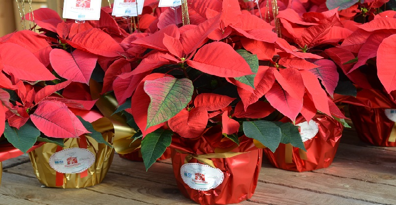 Poinsettias fleurs noel photo via mspvs