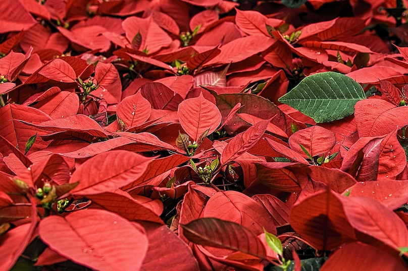 poinsettias fleur de Noel temps des fetes photo StevePb via Pixabay CC0 et INFOSuroit