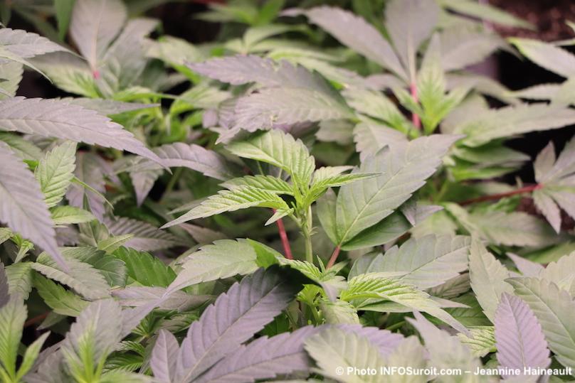 plan de cannabis visite usine TGOD Valleyfield fev2019 photo INFOSuroit-Jeannine_Haineault