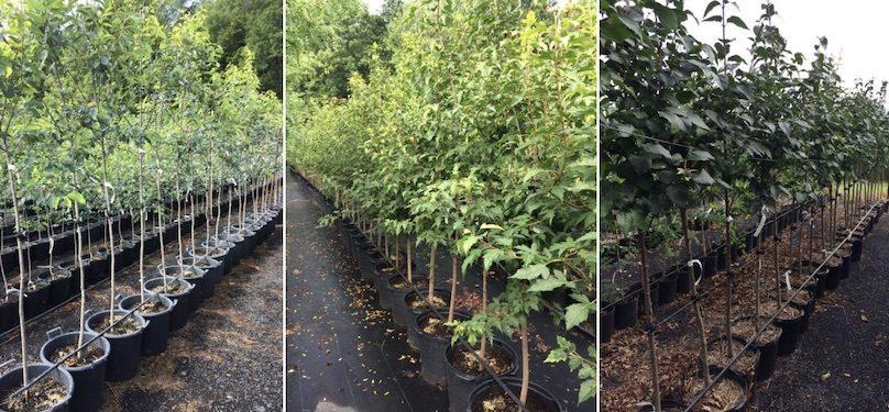 arbres distribution Ville Mercier Amelanchier Erable et lilas photos courtoisie VM