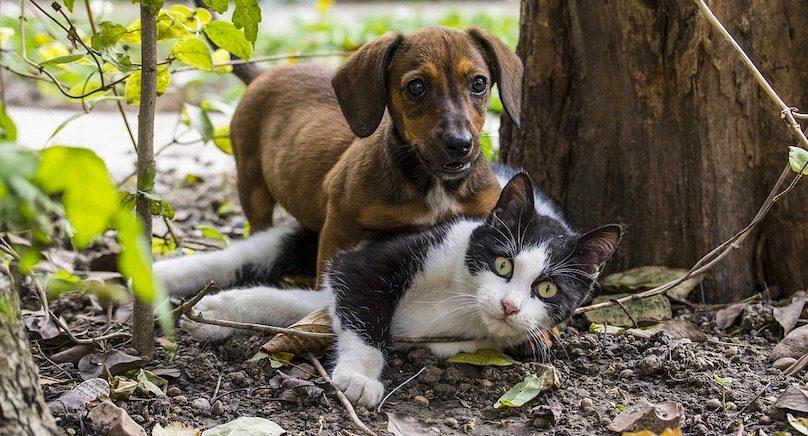 chien et chat photo IlyEssuti via Pixabay et INFOSuroit