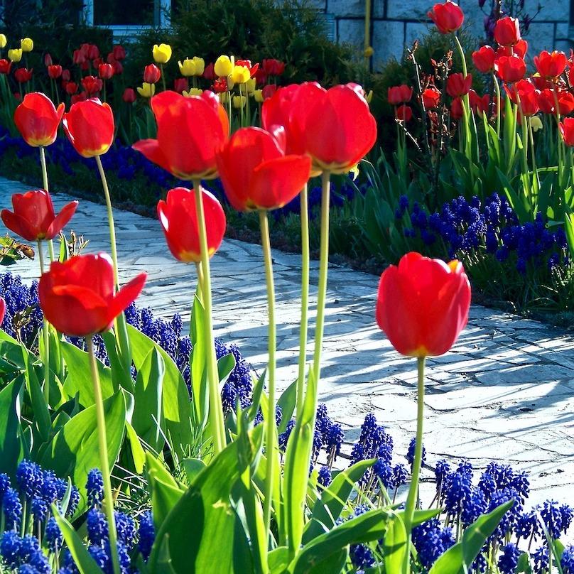 concours fleurs tulipes vivaces photo Skeeze via Pixabay et INFOSuroit