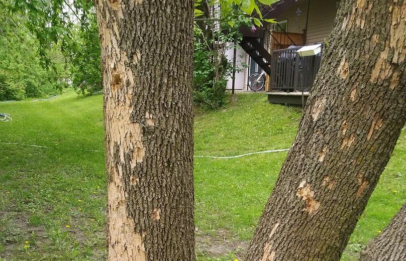 ecorce arbre agrile du frene photo via Ville Vaudreuil-Dorion