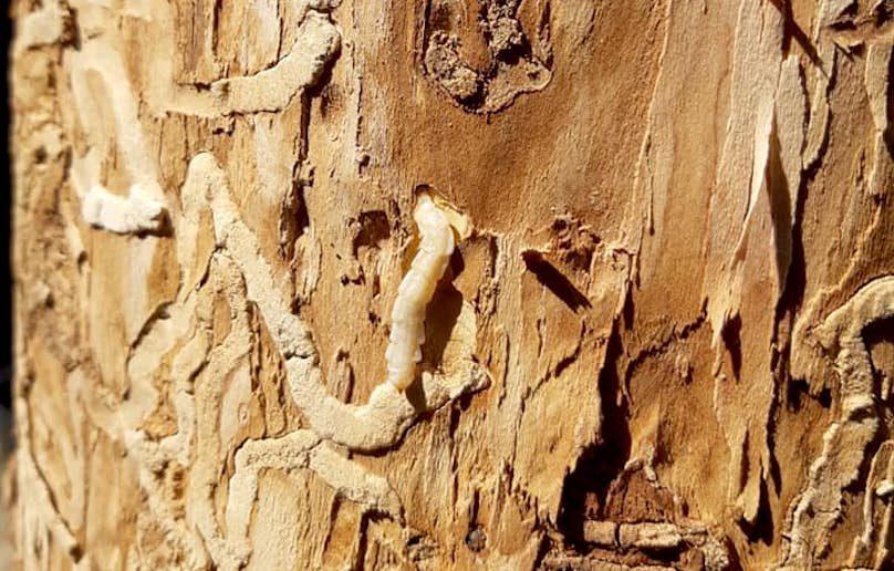 agrile du frene arbre insecte larve ecorce photo Audree_Bourdeau via SdV