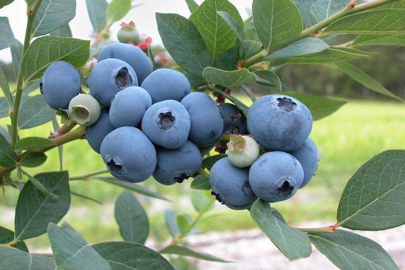 bleuets petits fruits arbre cueillette photo Skeeze via Pixabay et INFOSuroit