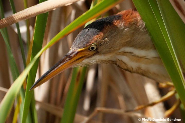 faune oiseau Petit_blongios Copyright photo Dominic_Gendron