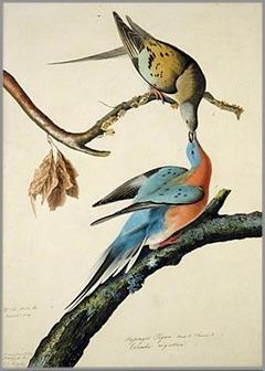 Tourtes Voyageuses visuel JJ_Audubon 1837 courtoisie Amis du parc regionale des iles