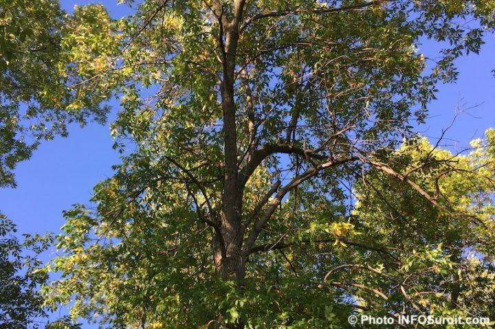 arbre malade frene parc Paquette Valleyfield sept2016 photo INFOSuroit
